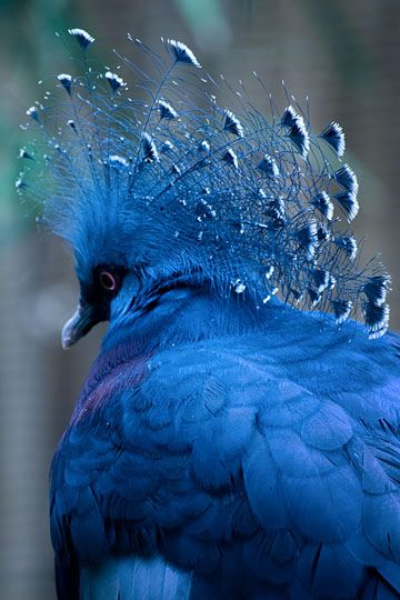 Victoria crowned pigeon wears its crown all of time, not like some who must lock them in a museum!