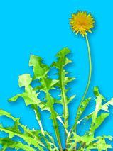 Dandelion is helpful for people who suffer from allergies, eczema and other skin conditions, asthma, arthritis, gout, rheumatism, gall stones, metabolic disturbances, bone disorders, low blood pressure, poor circulation, ulcers, anemia, halitosis (bad breath), constipation, malignant tumors, colds, lowering cholesterol, cardiac edema, heart burn, swollen glands, hot flushes, and as a sleep inducing night cap. Dandelion is a herb with fat metabolising properties. For weight loss several cups…