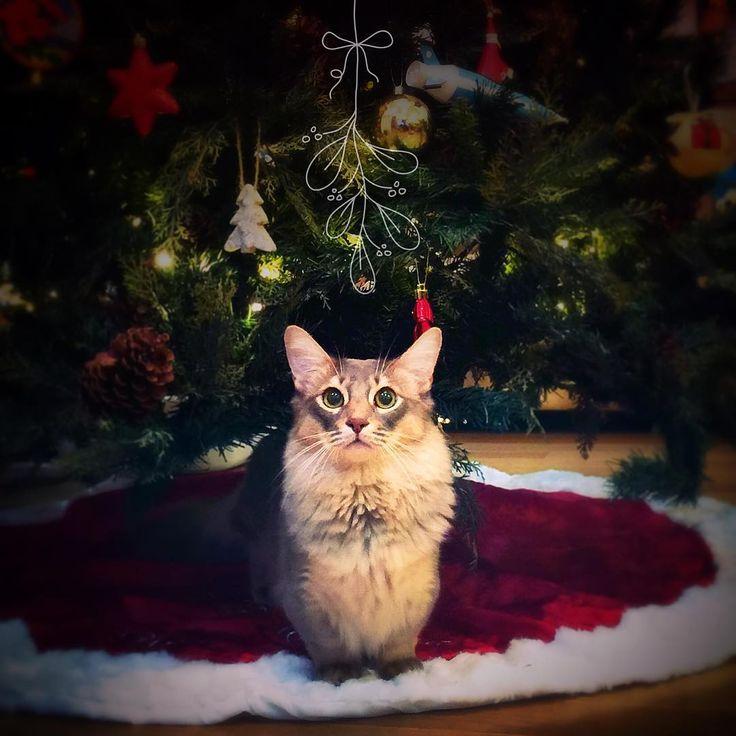 ✨Ahiahi kalikimaka✨ いゔだよー! 忙しさにかまけて昨夜までツリーを出していなかった・・。 そういえば今年はリースも作っていないわー( ꒦ຶД꒦ຶ )いかんいかん。いかんよね。 にじまるには初ツリー🎄✨オーナメントにじゃれるのは想定内だけれど、ツリースカートには大興奮! #にじまる #nijimalu #クリスマスイブ #クリスマスツリー #Christmas #mmsmilemonday #ねこ部…