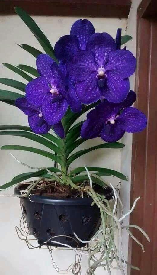 die besten 25 vanda orchidee ideen auf pinterest vanda. Black Bedroom Furniture Sets. Home Design Ideas