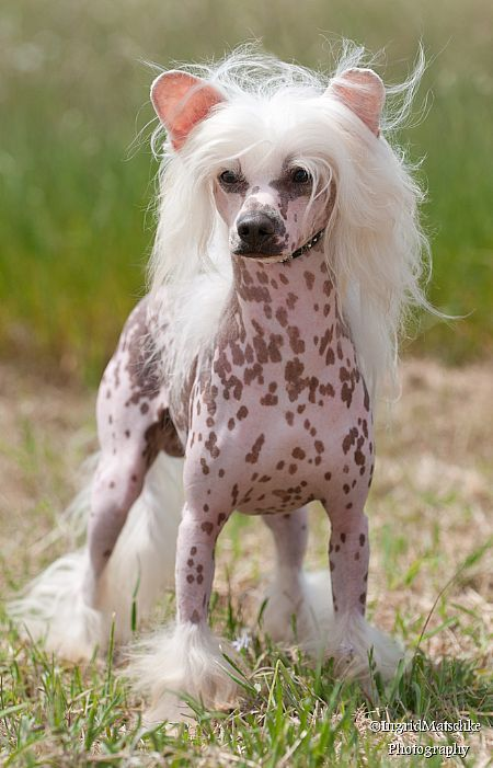 .chinese crested Krull the warrior king! Rofl