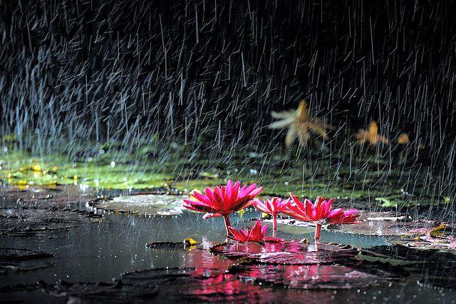 Rain and lotus by chunwoo, via Flickr #pink #rain #lotus