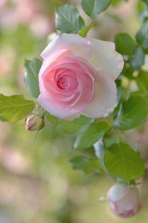 Kissy Face Rose