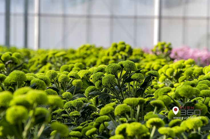 How about a visit to the first cut flowers facility in Qatar?