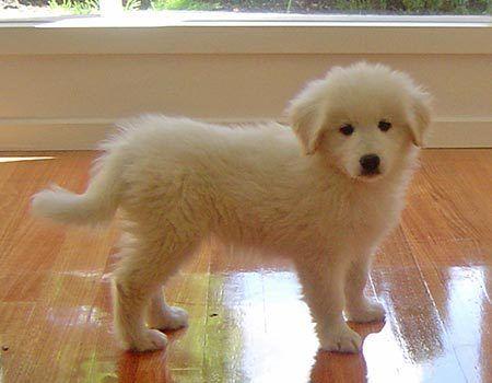 Golden Retriever X Samoyed Animals Baby Dogs Dogs