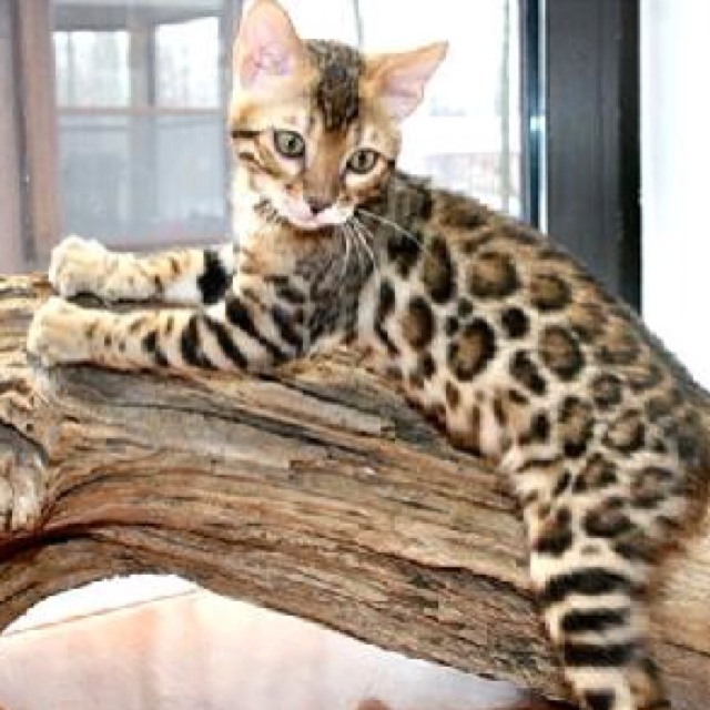 yeah i want a cat with spots just like this! bengal cat