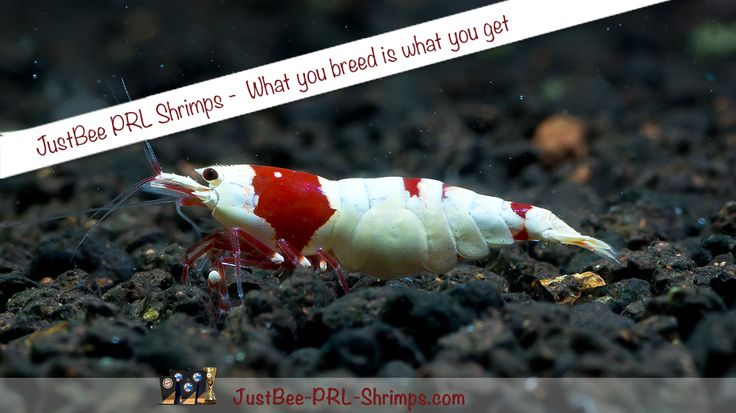 JustBee PRL RedBee Shrimps CRS