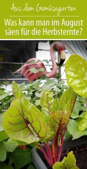 Welches Gemüse kann man für den Herbst im August säen?