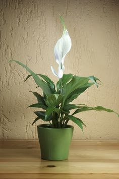 The Peace Lily plant is a very common houseplant which is known for its brilliant ability to remove toxic agents such as benzene, formaldehyde and trichloroethylene from the air. It also can help you get rid of toluene and xylene in your home. Moreover, cleaning the dust from the leaves will make this natural air purifier even more effective.