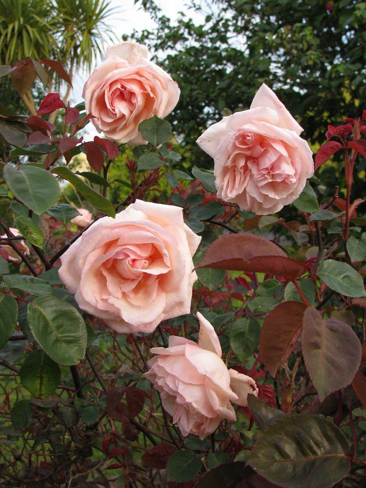 256 Best Images About Roses On Pinterest Roses Damasks