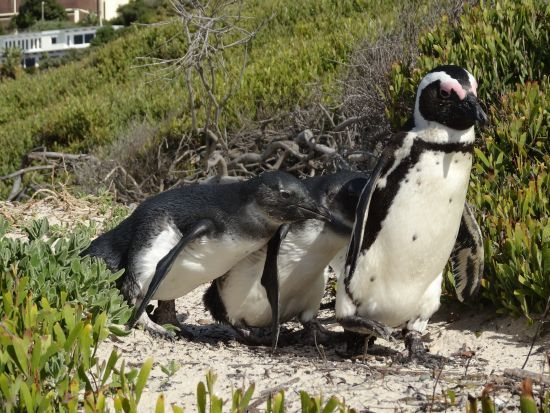 African Penguins #Simonstown #CapeTown #SouthAfrica