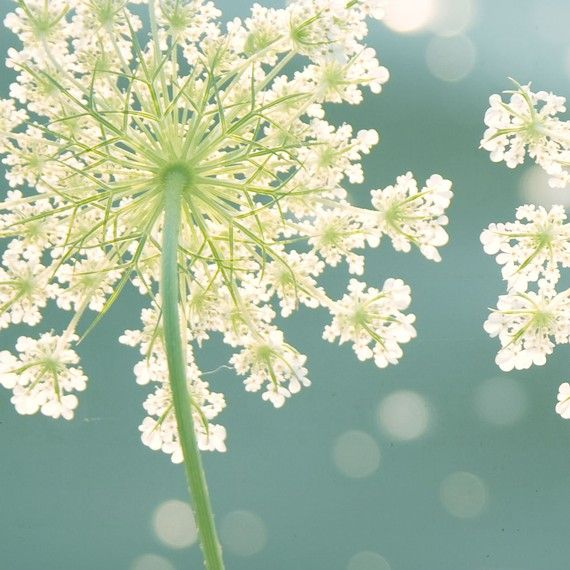 """Nature Photography, Fine Art Photography, Flower,Teal, Turquoise, Ivory, Lime, 12x12 Print,""""Summer Meadow"""""""
