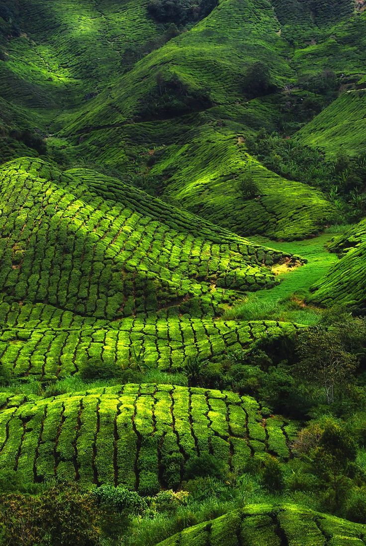 Tea plantation, Munnar, India