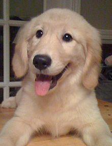 3 month old golden retriever puppy