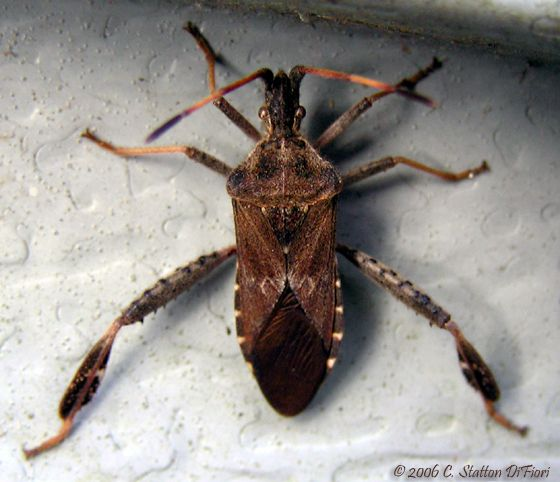 Western Conifer Seed Bug - Leptoglossus corculus.  This bug is so cool.  Very relaxing to watch it slowly mossie around.