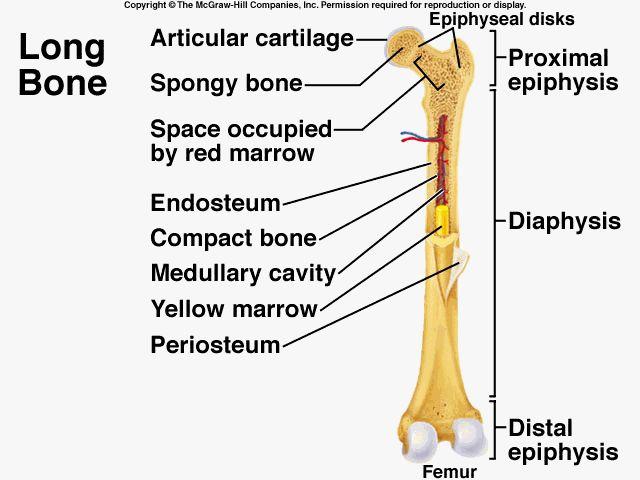 1000 images about bones on pinterest the skulls human skeleton  : long bone diagram - findchart.co