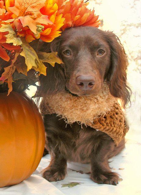 Warm Autumn dachshund.