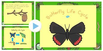 Butterfly Life Cycle PowerPoint - australia, butterfly, life cycle