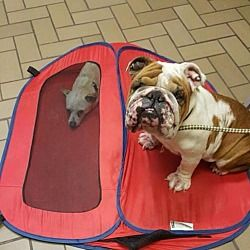 Pictures of Gordie a English Bulldog for adoption in New York, NY who needs a loving home.