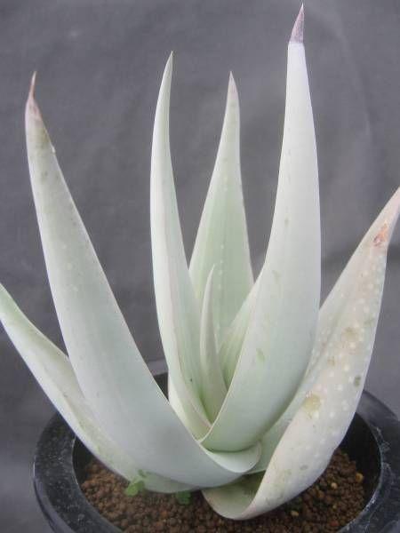 661 best images about favorite plants on pinterest rare succulents plant pots and agaves. Black Bedroom Furniture Sets. Home Design Ideas
