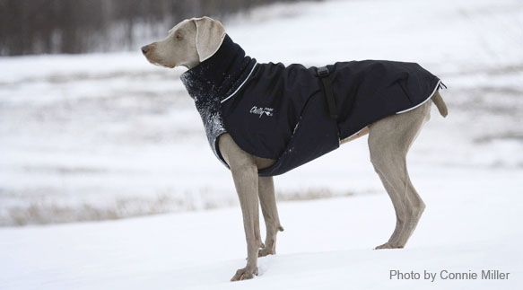 Coat for Penny for winter walks in the woods.  Chilly Dogs - Outdoor gear for Active Dogs - Dog Coats