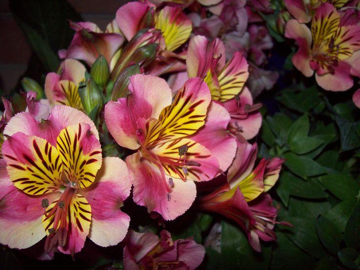 fresia - amicizia duratura (cit. Vanessa Diffenbaugh - il linguaggio segreto dei fiori)