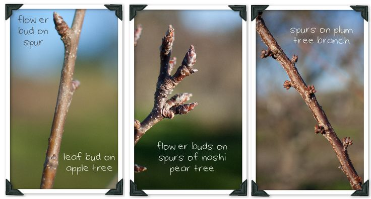 Learn the language of pruning with our photographic guide to pruning fruit trees, pruning tools and terms.