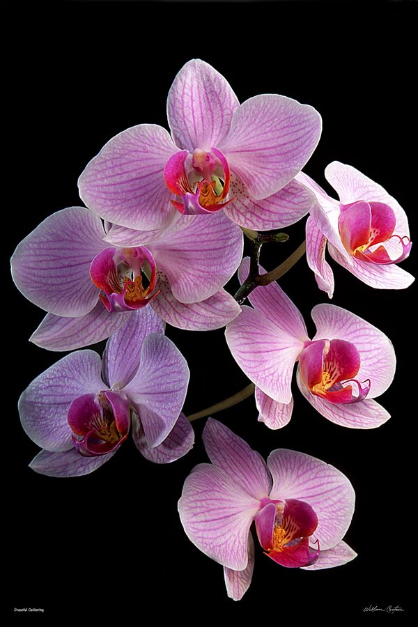 F Graceful Gathering By William Castner Orchid Photography Orchids Flowers Photography