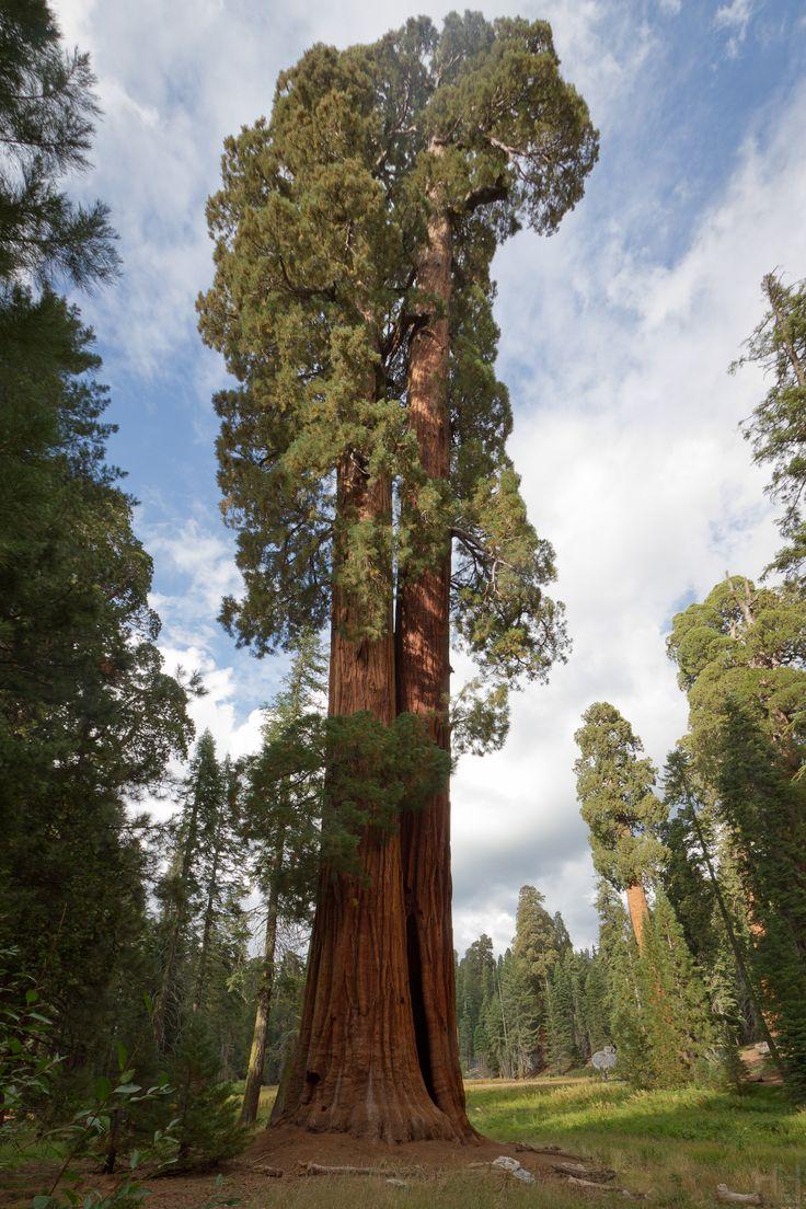 Giant sequoia (Sequoiadendron giganteum) in big trees trail, Sequoia national park, California, USA.> www.flickr.com/photos/hhoyer/6160589201/in/photostream