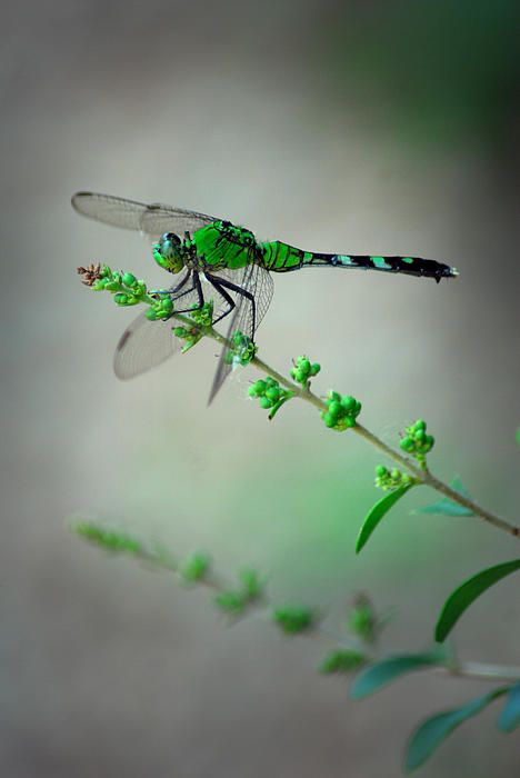 Green Dragonfly (by Tracy Smith)