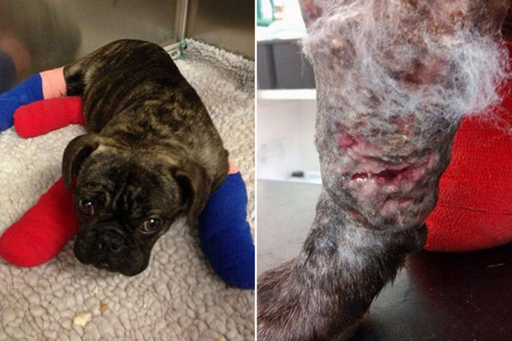 Shocking pictures of five-month-old puppy held down and savaged in DOG-BAITING ring