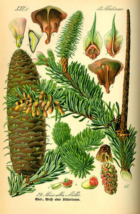 Fir (Abies) is a genus of 48–55 species of evergreen coniferous tree in the family Pinaceae. It is found through much of North and Central America, Europe, Asia, and North Africa, occurring in mountains over most of the range. Firs are most closely related to the genus Cedrus (cedar); Douglas-firs are not true firs, being of the genus Pseudotsuga.