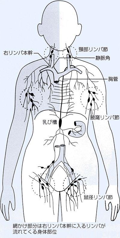 図1 深部リンパ管とリンパ節の分布
