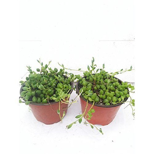 Souked 10PCS Spiral Grass Seed Shape Like Spring Interest Bonsai Plant