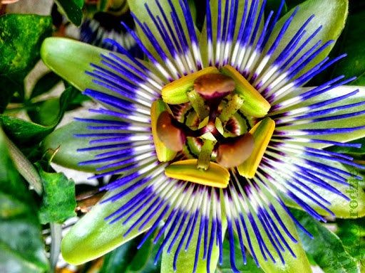 Bluecrown Passionflower 50 Seeds Blue Passion Flower Also Known As The Passion Flower Or The Flower Of Th In 2020 Blue Passion Flower Orchid Seeds Passiflora Caerulea