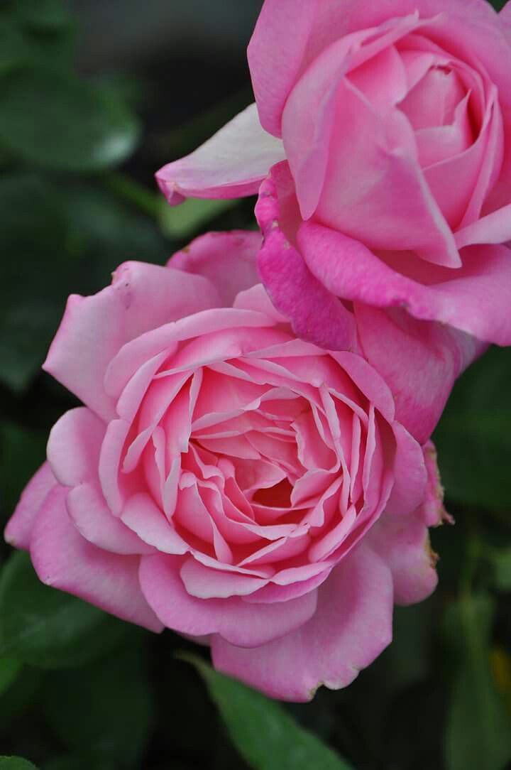 透明感のあるピンクの花色の優雅な大輪花 グレイス・ケリーにふさわしい華やかなバラ  グレイスドゥモナコ Grace de Mónaco http://item.rakuten.co.jp/baranoie/c/0000002065/?force-site=pc