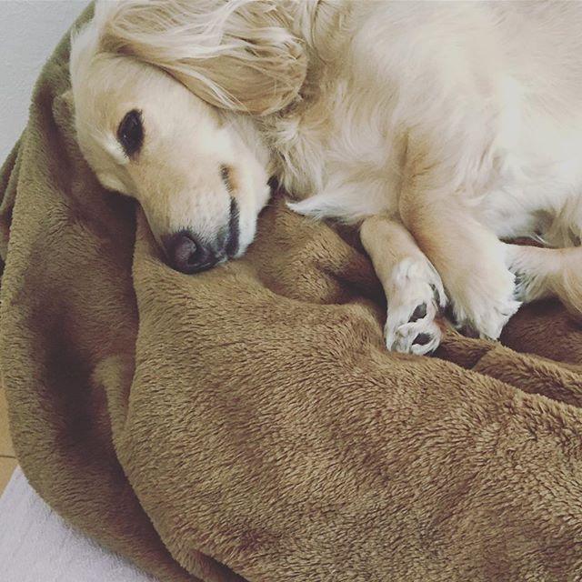 . ちょっと体調悪い子🐶 ずっと寝てる💤 でもお散歩は元気に 歩いてくれる😊✨ 💉は見送りだね🤦♀️ . #ダックス #ダックスフンド #わんこ #わんちゃん #愛犬 #dog #dogstagram #love #lovedog #dachshund #dachs #dachshundgram #dachshundlove #photo #kyounodachs #todayswanko #사진 #귀여워. #개 #all_dog_japan #甘えん坊 #天然娘っ子