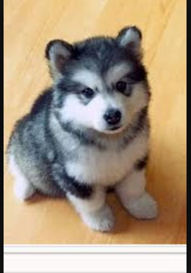 Pomsky puppy   Puppies I want to adopt   Pinterest