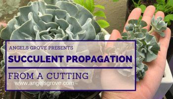 Succulent Cutting Propagation