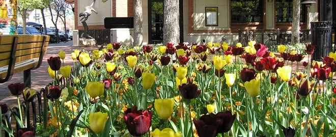 Spring Tulips on Pearl Street Mall