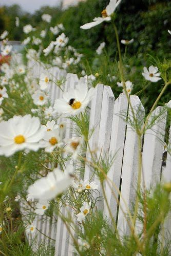 Love this white picket fence with white Cosmos combo... beautiful & so serene =)