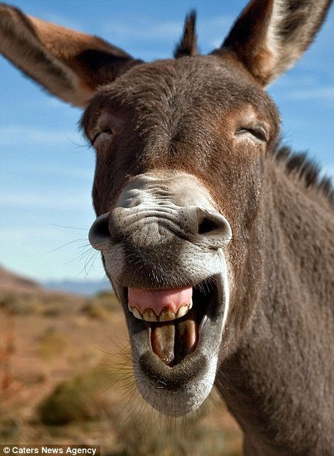 Wild Burro the mule laughing at the Red Rock Conservation Area, Nevada...