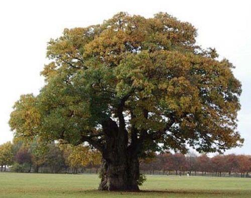 Гороскоп друидов дерево Каштан     Зодиак кельтов. Люди рожденные под знаком Каштана с 15 по 24 мая и с 12 по 21 ноября