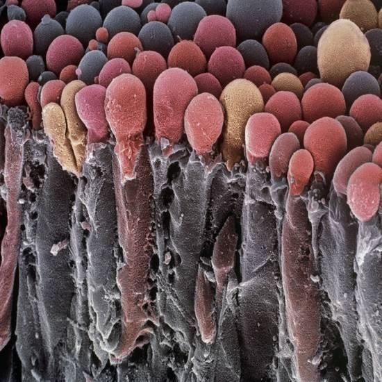 Choroid Plexus Secretory Cells, SEM Photographic Print by Steve Gschmeissner – Bella