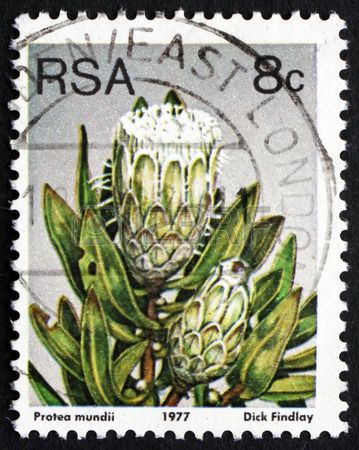 SOUTH AFRICA - CIRCA 1977: a stamp printed in South Africa shows Forest Sugarbush, Protea Mundii, Flowering Shrub, circa 1977