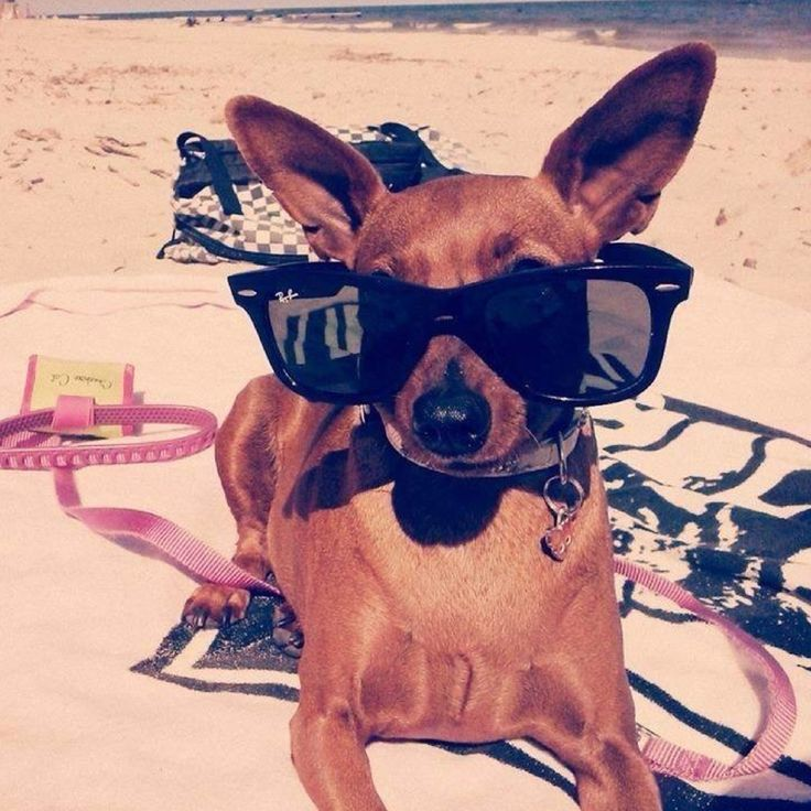 A new Chic4Dog's 4pawed #friend - sunbathing on the beach <3 Gli occhiali da sole non mancano!