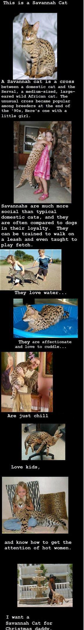 Now i want savannah cat