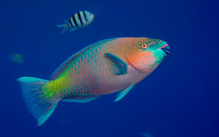 58 best peces images on pinterest animais animal facts for Parrot fish facts