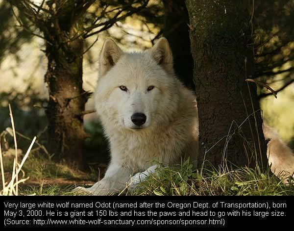 an analysis of one of the largest wolves in the world Gray wolf: gray wolf, (canis lupus), largest wild member of the dog and one in africa wolves were domesticated several thousand in most areas of the world.