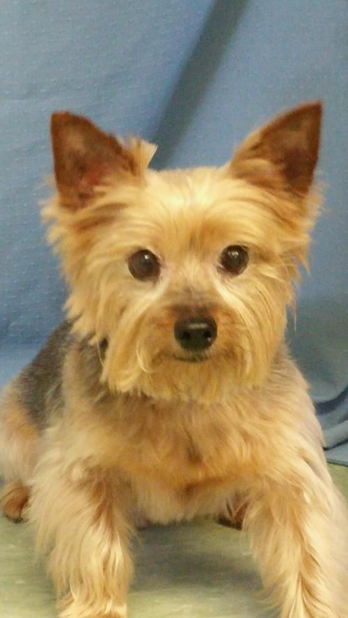 yorkshire terrier for adoption 1000 ideas about yorkshire terrier rescue on pinterest 5654